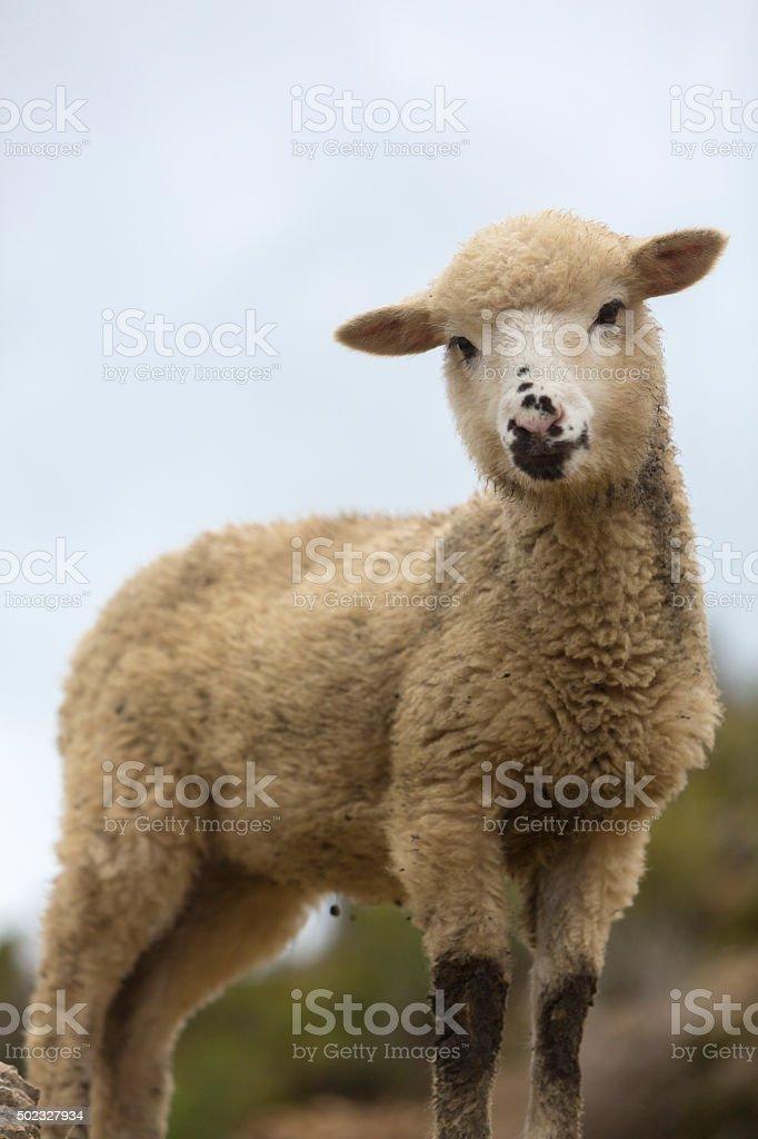 Cute baby goat on Isla del Sol, Bolivia stock photo