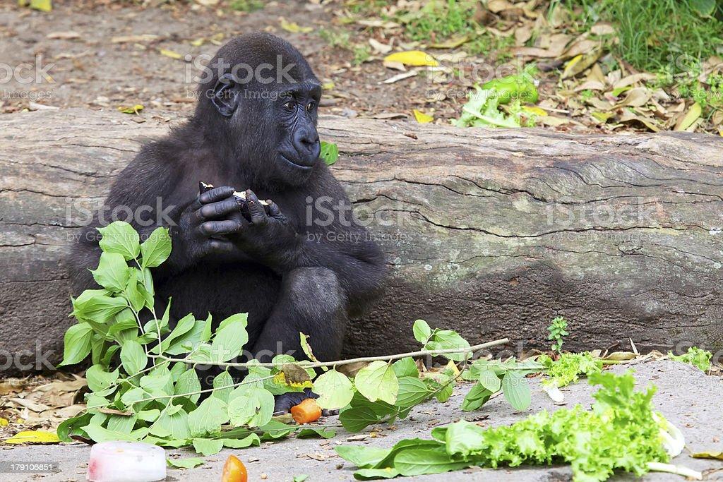 Cute Baby Gorilla stock photo