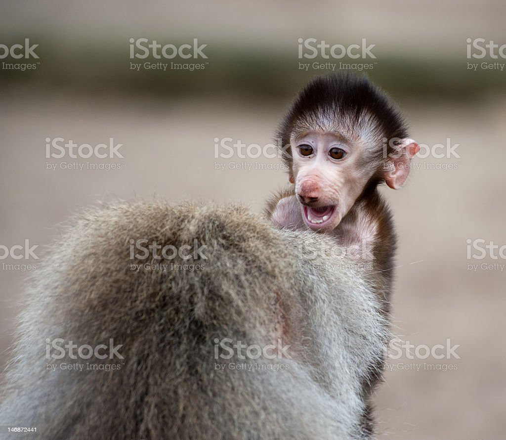 Cute baby Hamadryas Baboon royalty-free stock photo