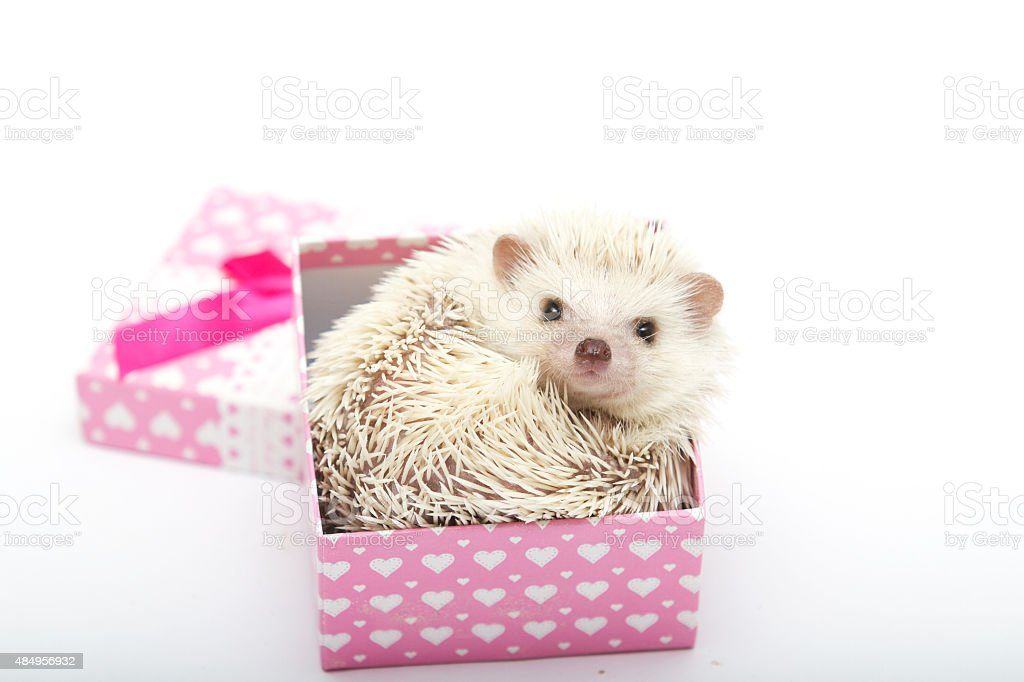 Cute baby hedgehog in a gift box stock photo