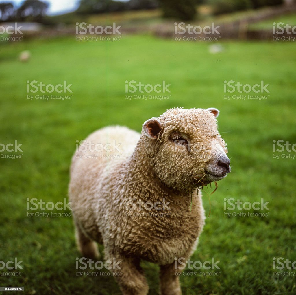Cute baby lamb portrait royalty-free stock photo