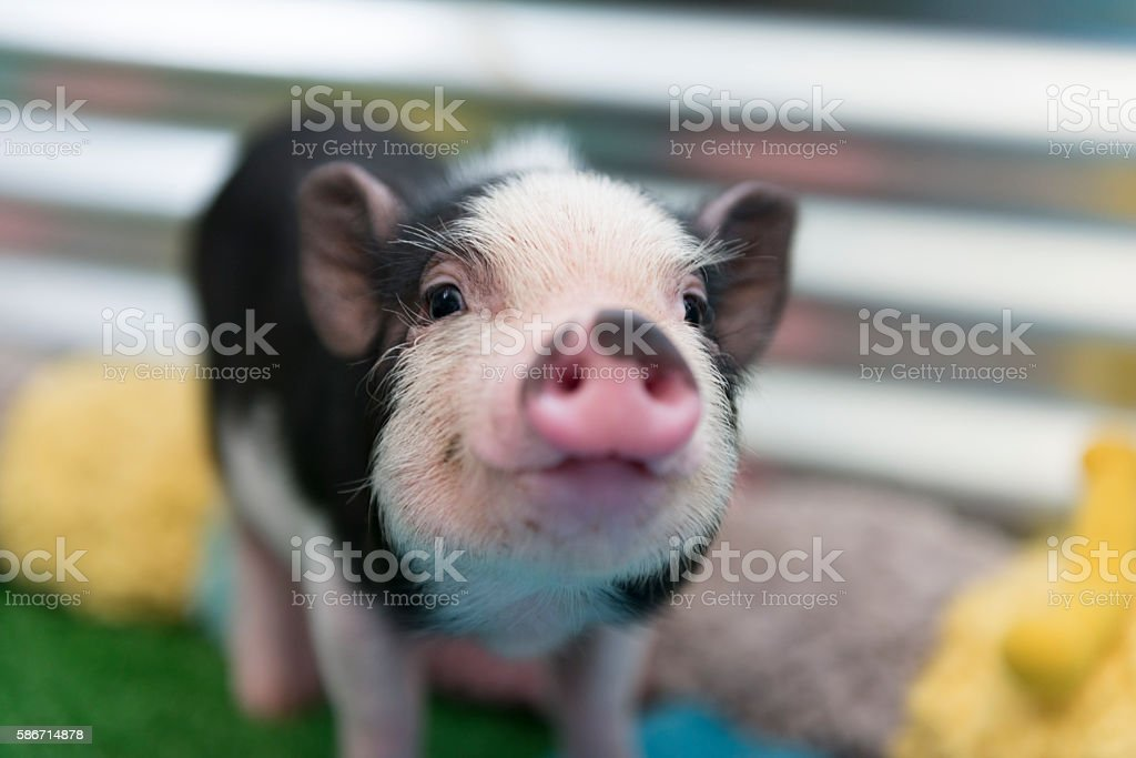 Cute baby piglet stock photo