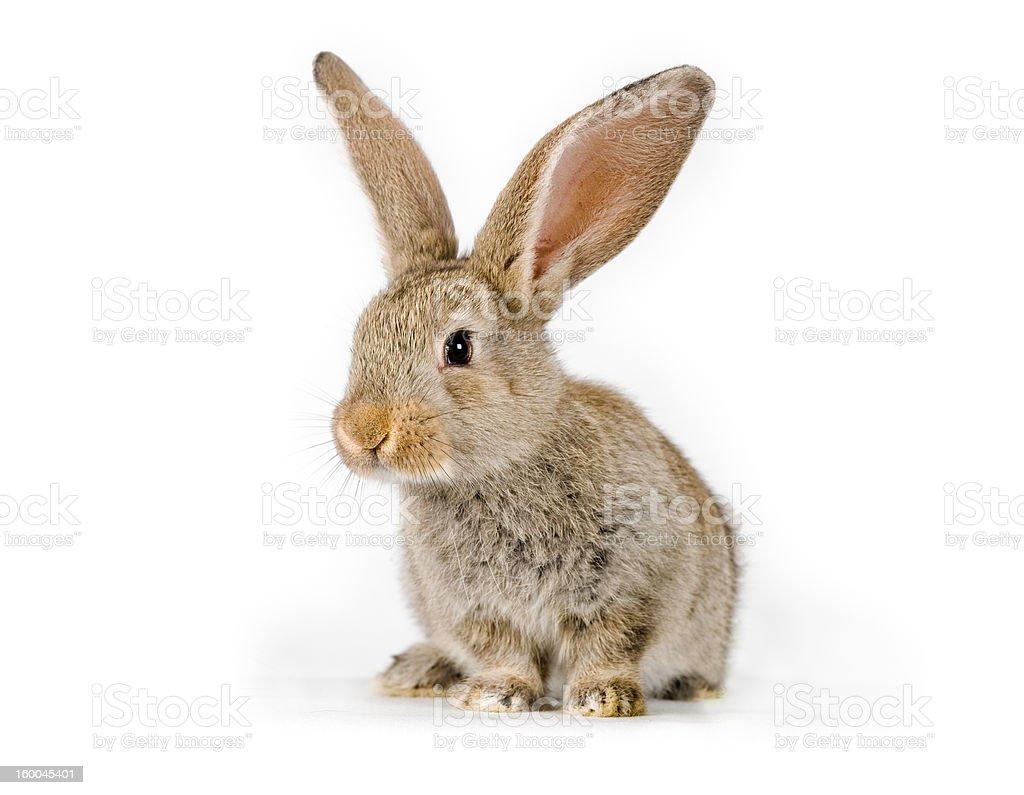 Cute baby rabbit shot on white      (© Lobke Peers) royalty-free stock photo