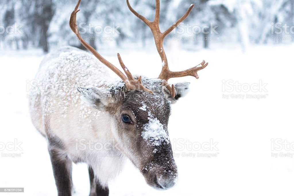 Cute Baby Reindeer stock photo