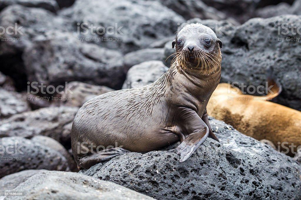 Cute baby sea lions in san cristobal galapagos stock photo