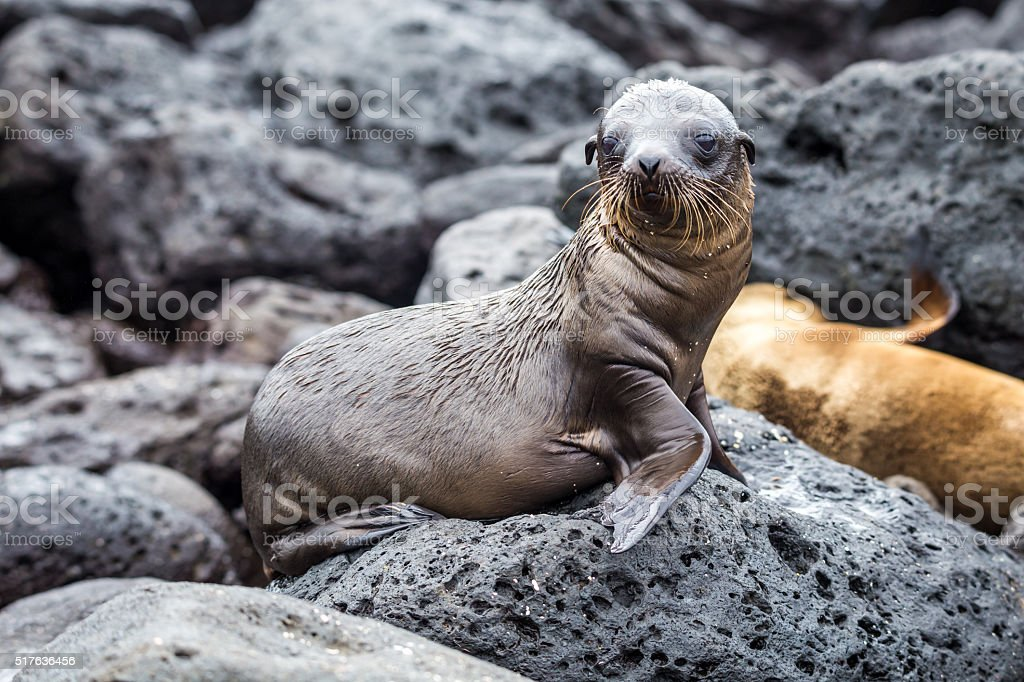 Cute baby sea lions in san cristobal galapagos stock photo