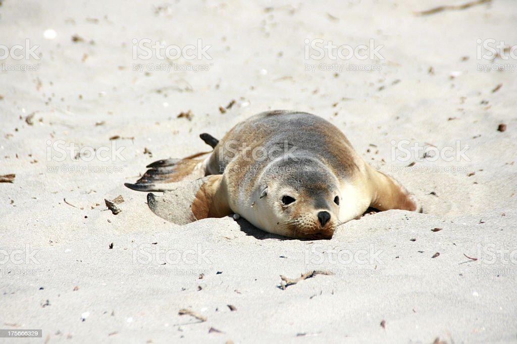 cute baby seal sleeping on a beach, kangaroo island, australia royalty-free stock photo