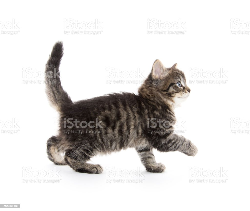 Cute baby tabby kitten on white stock photo