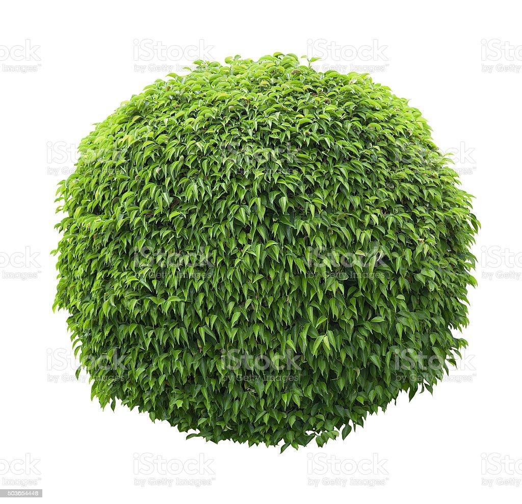Cute ball shaped bush isolated on white background stock photo
