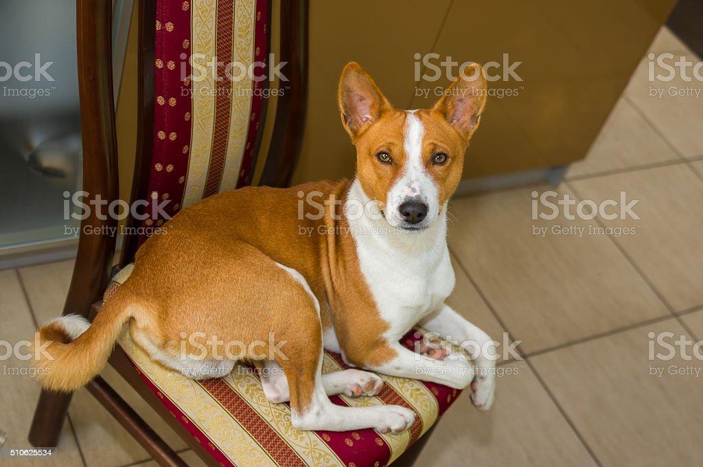 Cute basenji dog having rest on a chair stock photo
