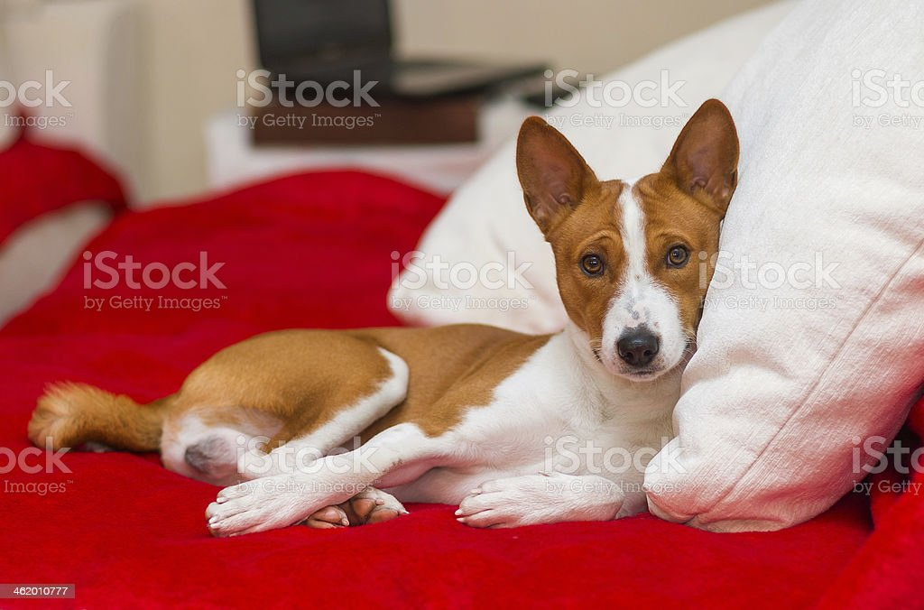 Cute basenji having rest royalty-free stock photo