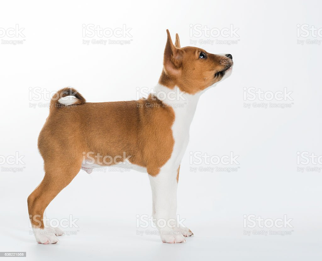 cute Basenji puppy sitting isolated on white background. looking down stock photo