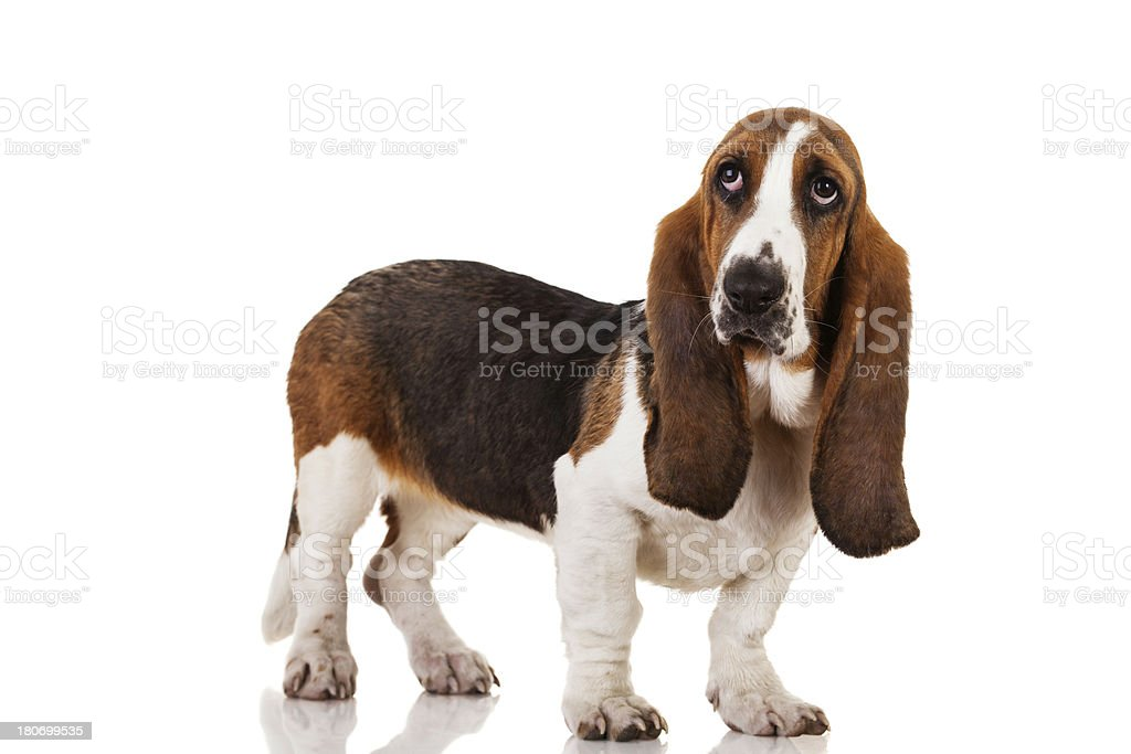 Cute Basset dog royalty-free stock photo