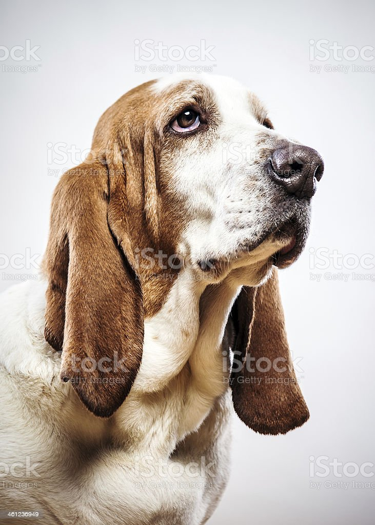 Cute Basset Hound stock photo
