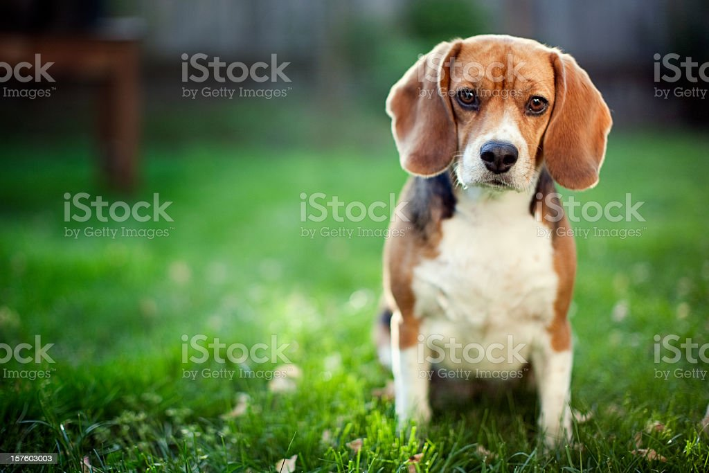 Cute Beagle At Park stock photo