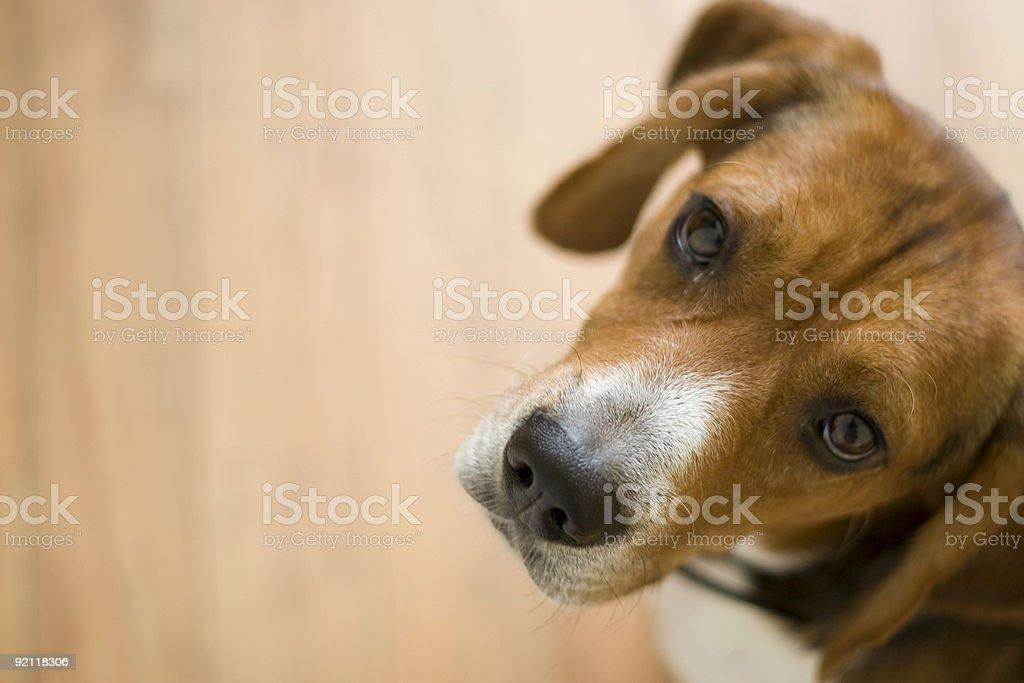 Cute Beagle Dog royalty-free stock photo
