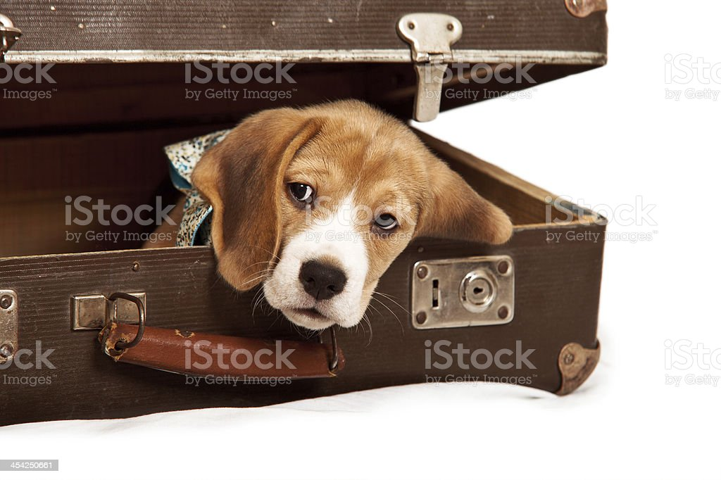 Cute beagle puppy into the old suitcase royalty-free stock photo