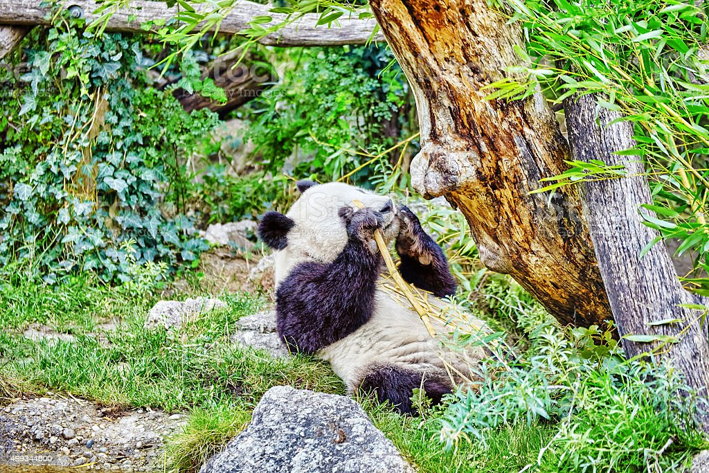 Cute bear panda actively chew a green bamboo sprout. stock photo