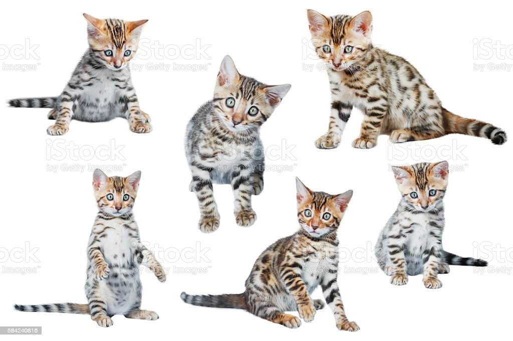 Cute Bengal Kittens in different poses stock photo