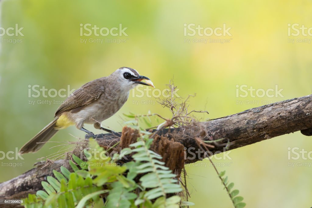Cute bird perching with fruit in mouth . Bulbul bird,Yellow-vented bulbul ( Pycnonotus goiavier ) eating  banana  in summer. stock photo