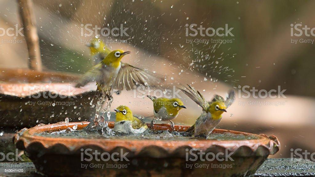 Cute birds bathe in a small pot stock photo