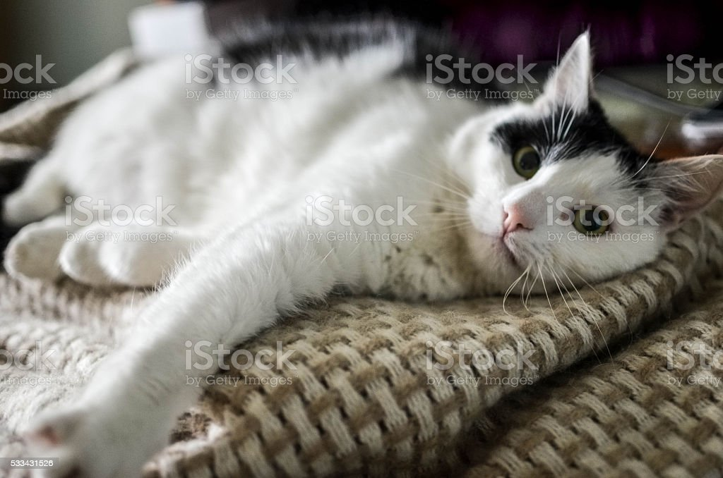Cute black and white cat, indoor photo stock photo