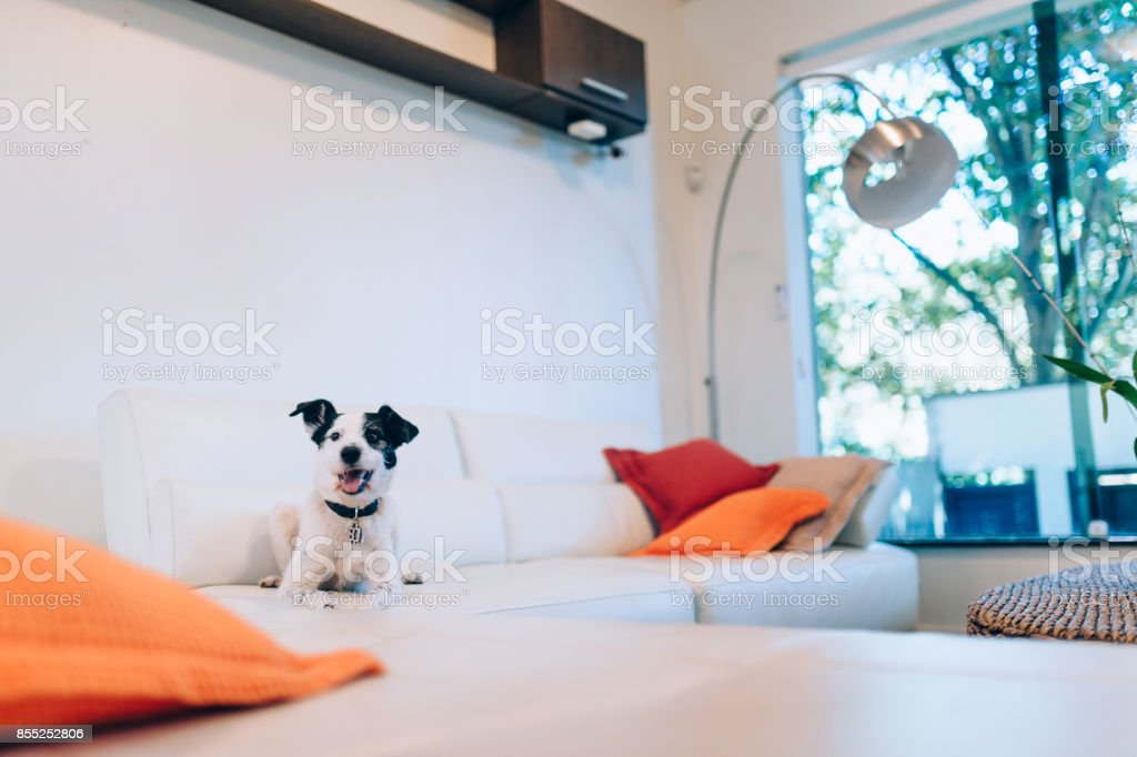 Cute black and white dog in the living room