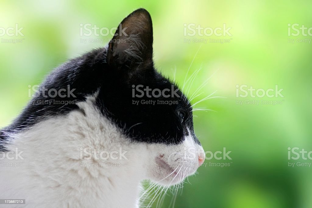 Cute black and white domestic cat head shot green background stock photo