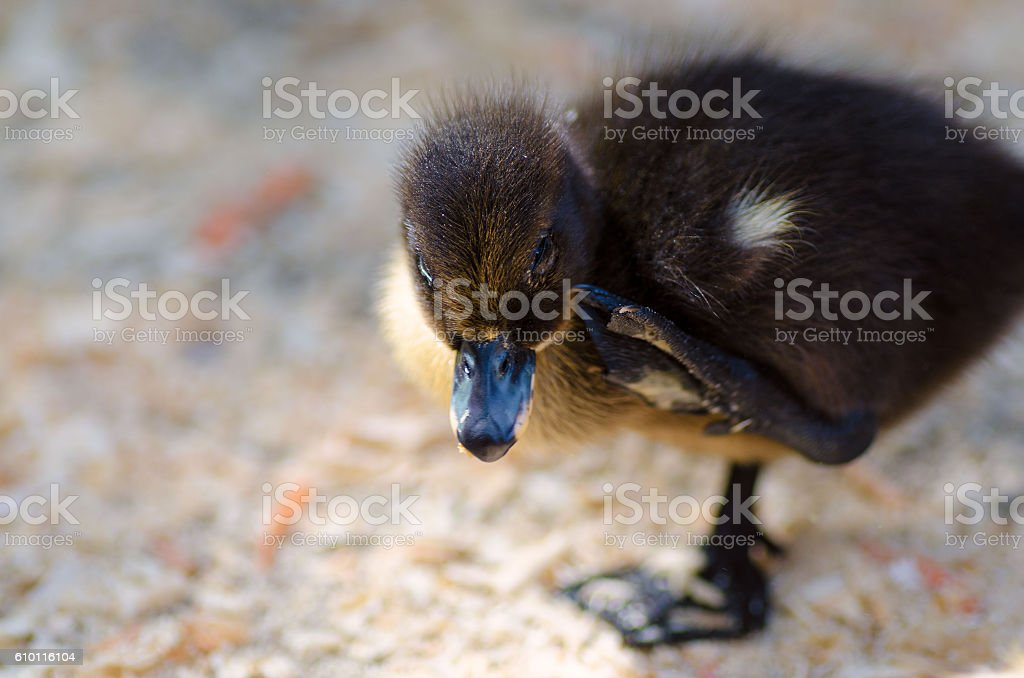 Cute black fluffy duckling standing on one leg stock photo