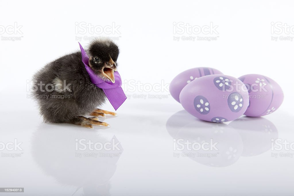 Cute black newborn baby chicken stock photo