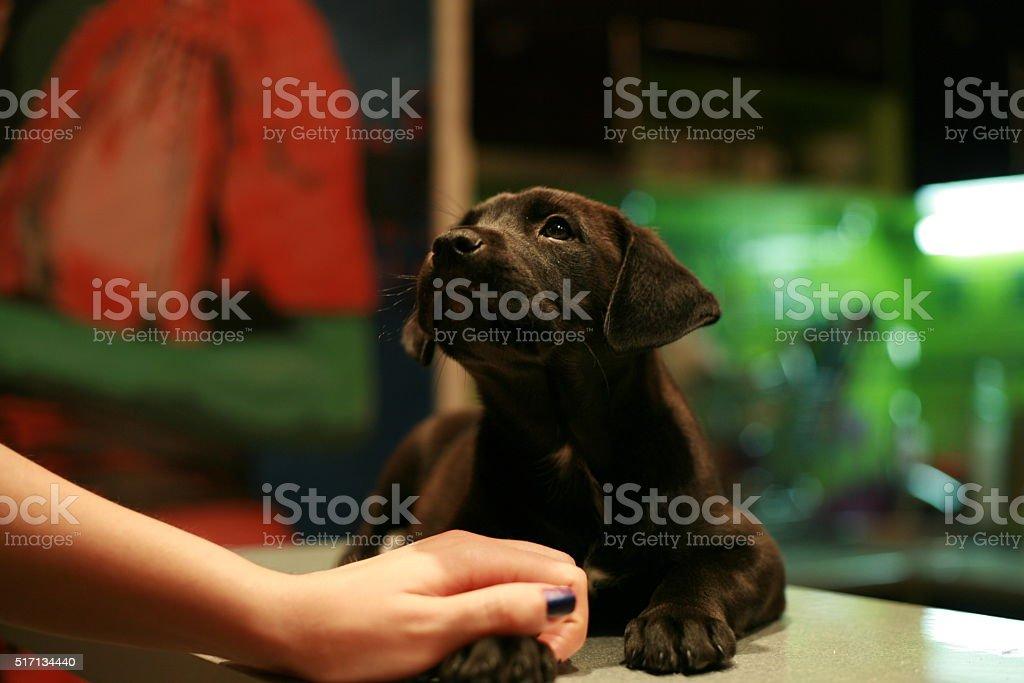 Cute black Puppy stock photo