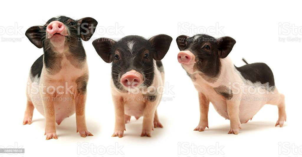 Cute black small-eared pig stock photo