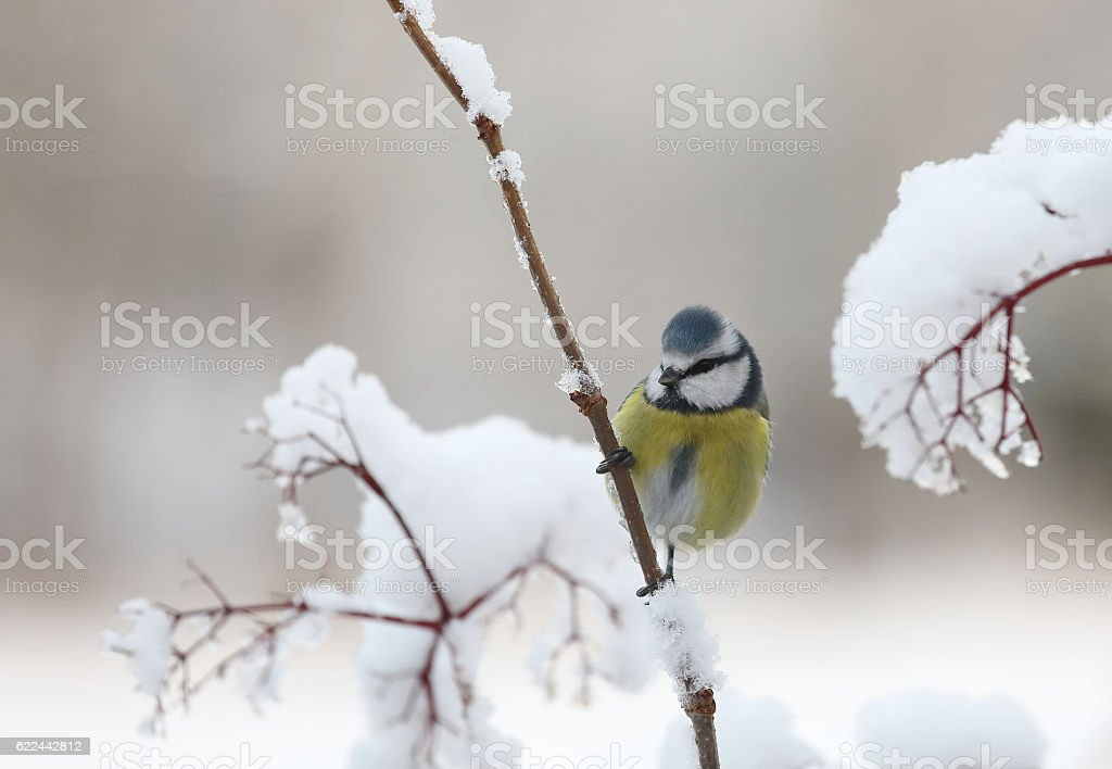 Cute blue tit bird sitting on a branch with snow stock photo