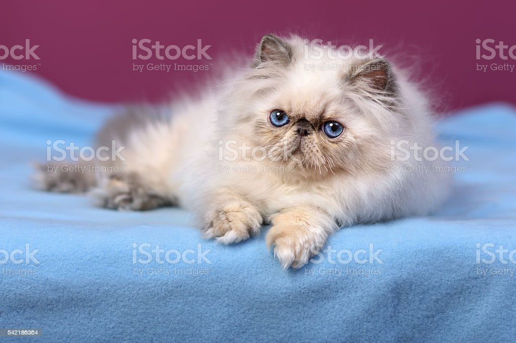 Cute blue-cream colorpoint persian kitten on a blue bedspread stock photo