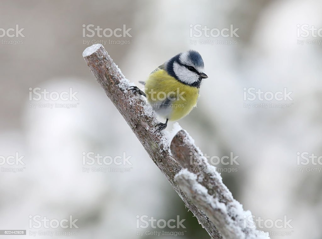 Cute bluetit bird sitting on a branch covered with snow stock photo