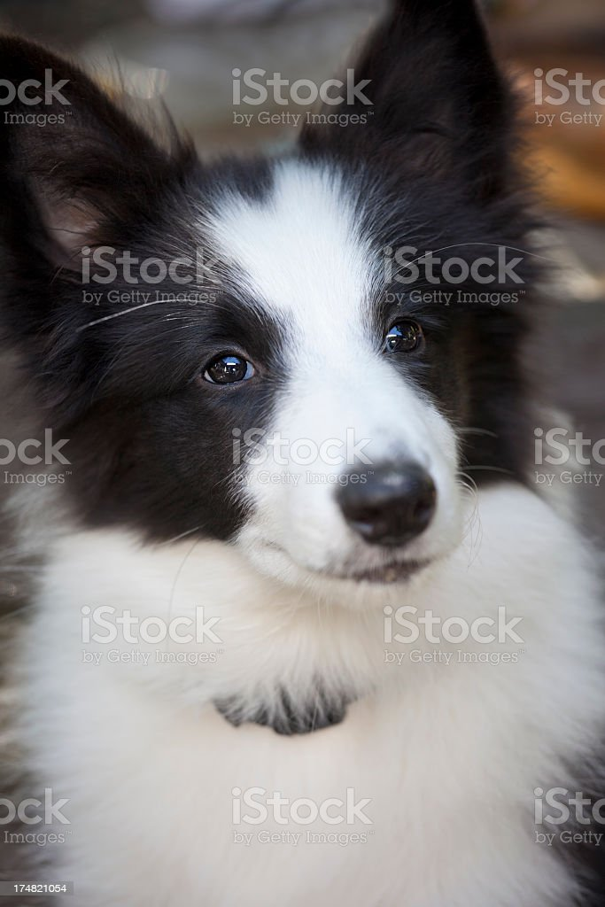 Cute Border Collie puppy. royalty-free stock photo