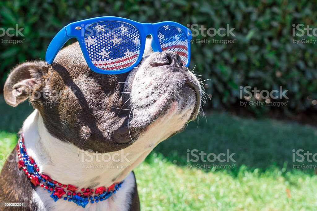 Cute Boston Terrier Dog Wearing Fourth of July Sunglasses stock photo