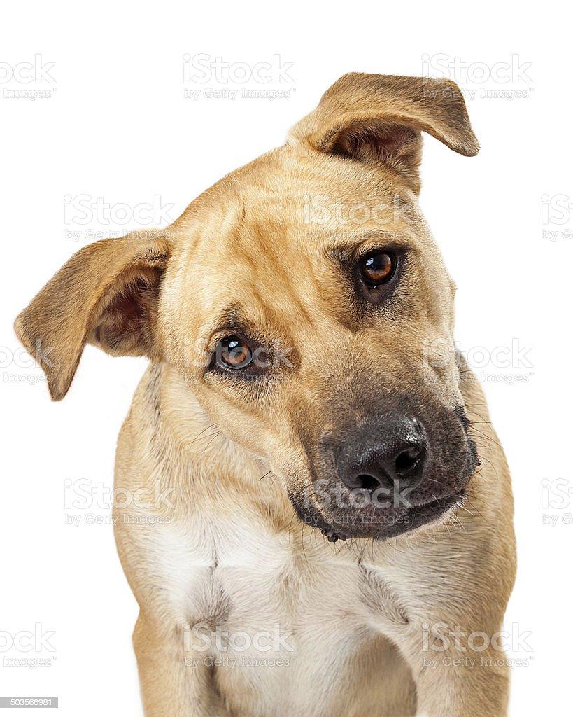 Cute Boxer Mix Dog Closeup stock photo