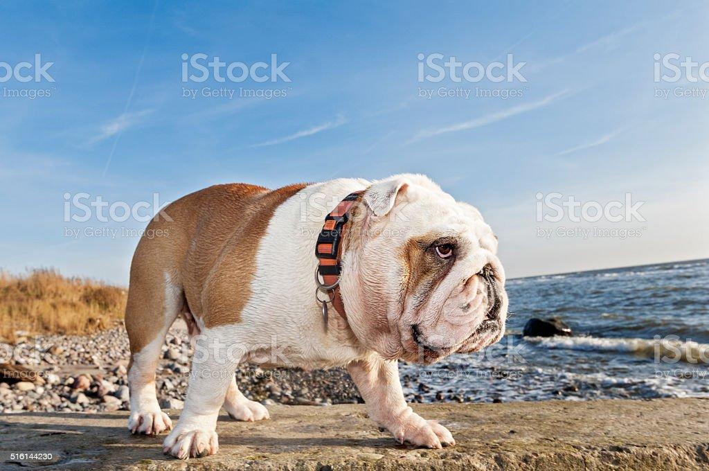 Cute British bulldog out for walk at the beach. stock photo