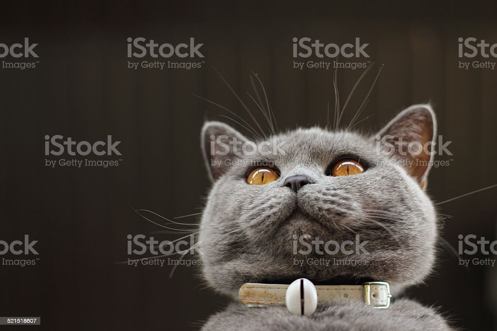 Cute british shorthair cat stock photo