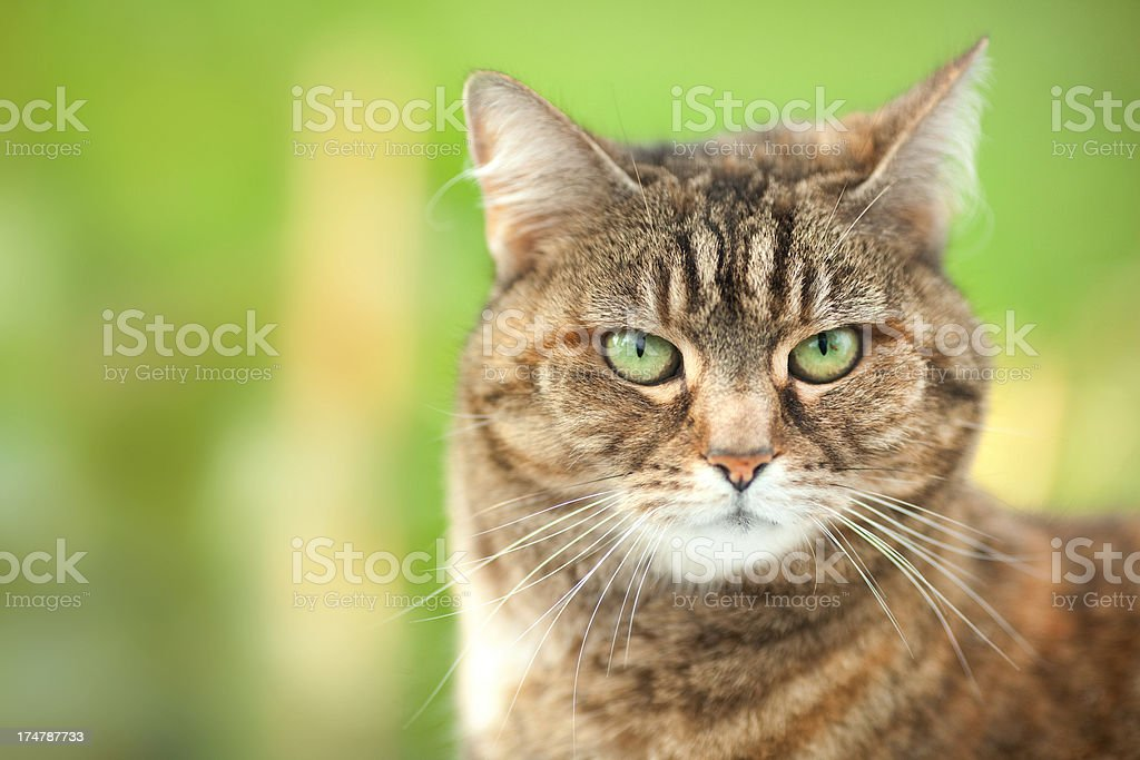 cute brown Cat headshot Wallpaper royalty-free stock photo