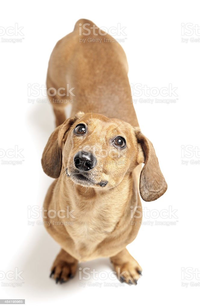 cute brown dachshund dog isolated on white background royalty-free stock photo