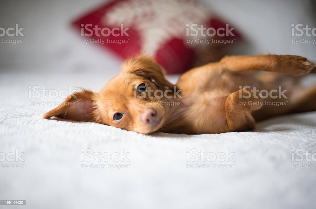 Cute Brown Dachshund on a White Bed stock photo