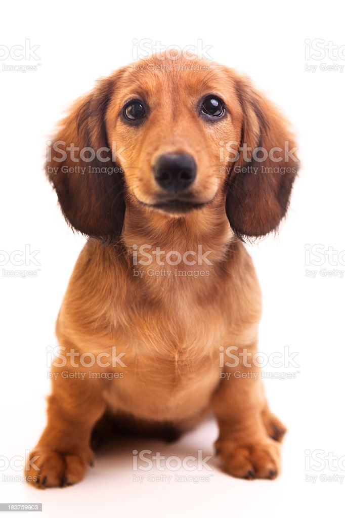Cute brown Dachshund puppy on white background  stock photo