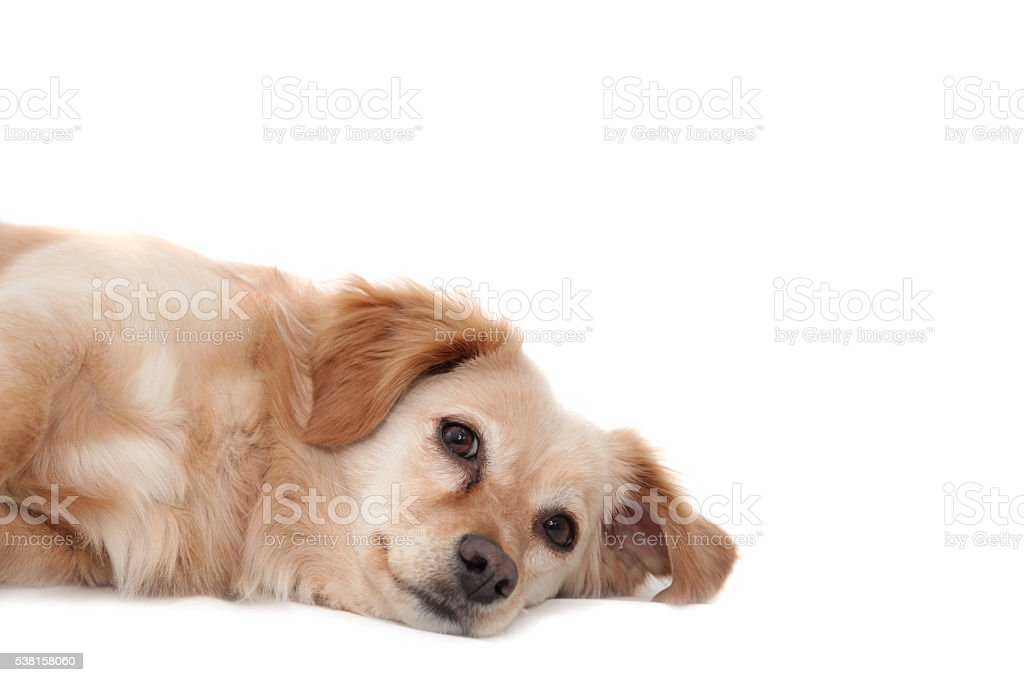 Cute brown fluffy dog lying on white background stock photo
