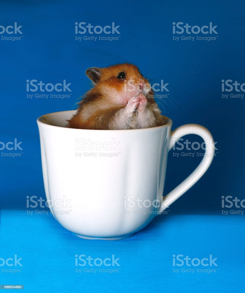 Cute brown hamster scared in a white porcelain dish stock photo