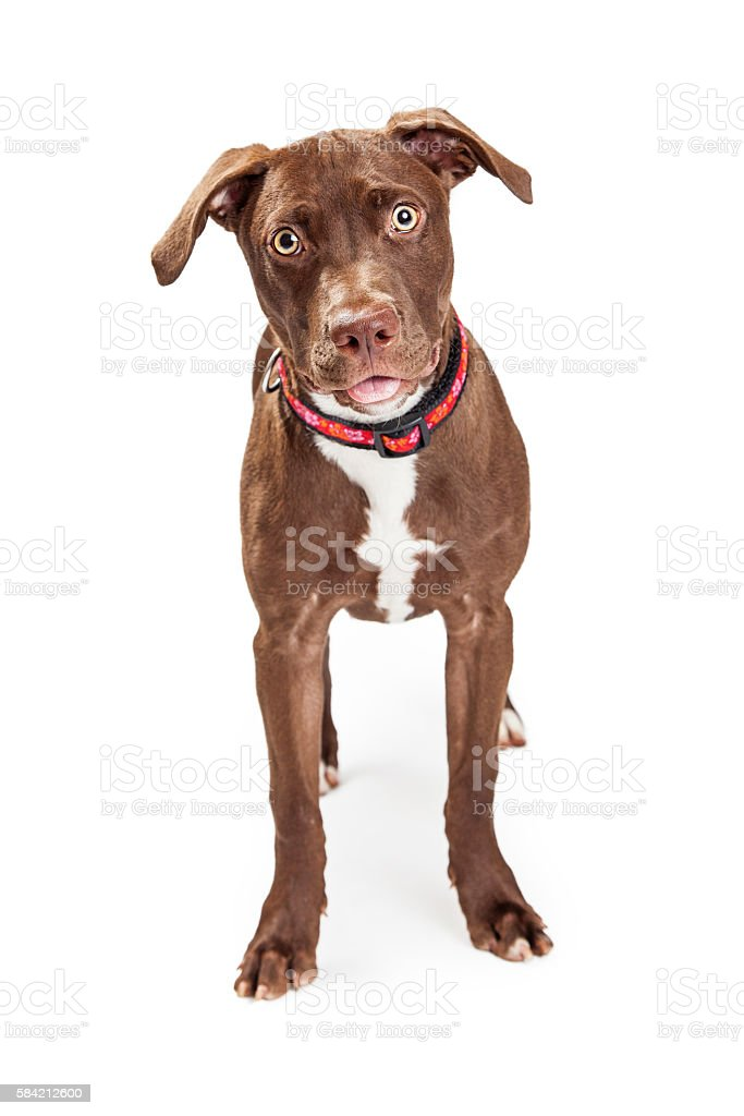 Cute Brown Mixed Breed Dog Over White stock photo