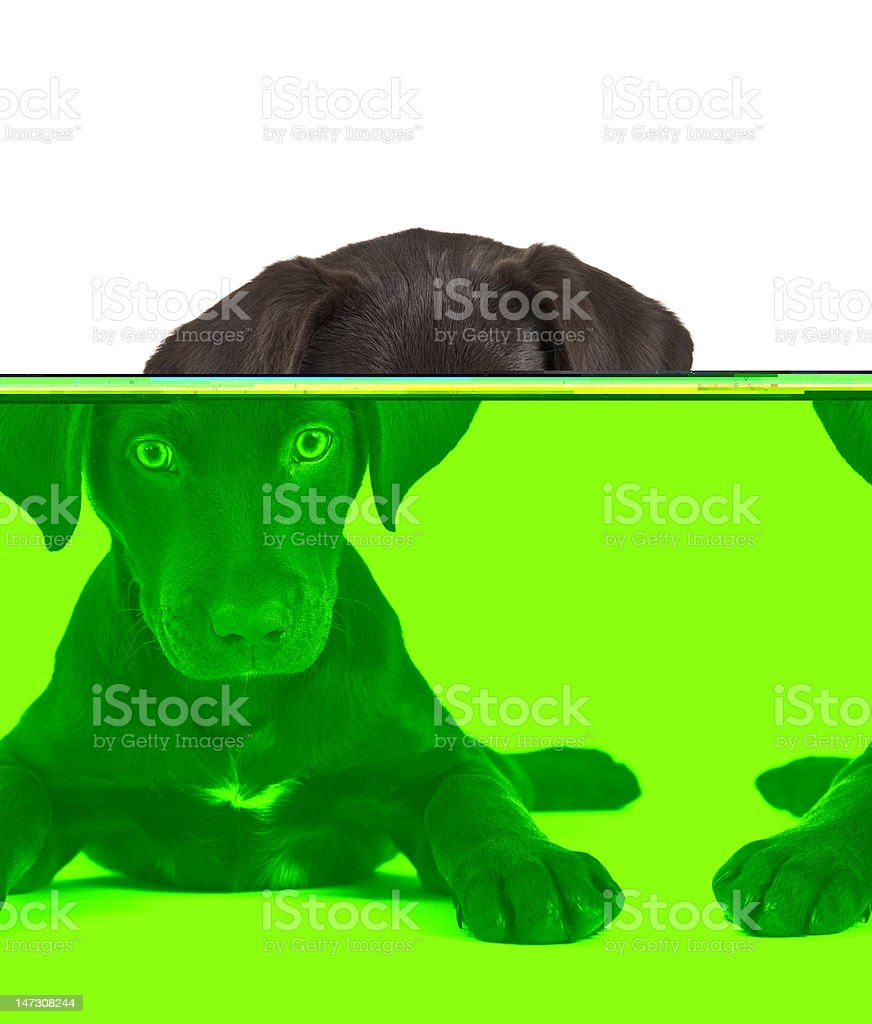 Cute brown puppy facing camera on a white backdrop stock photo
