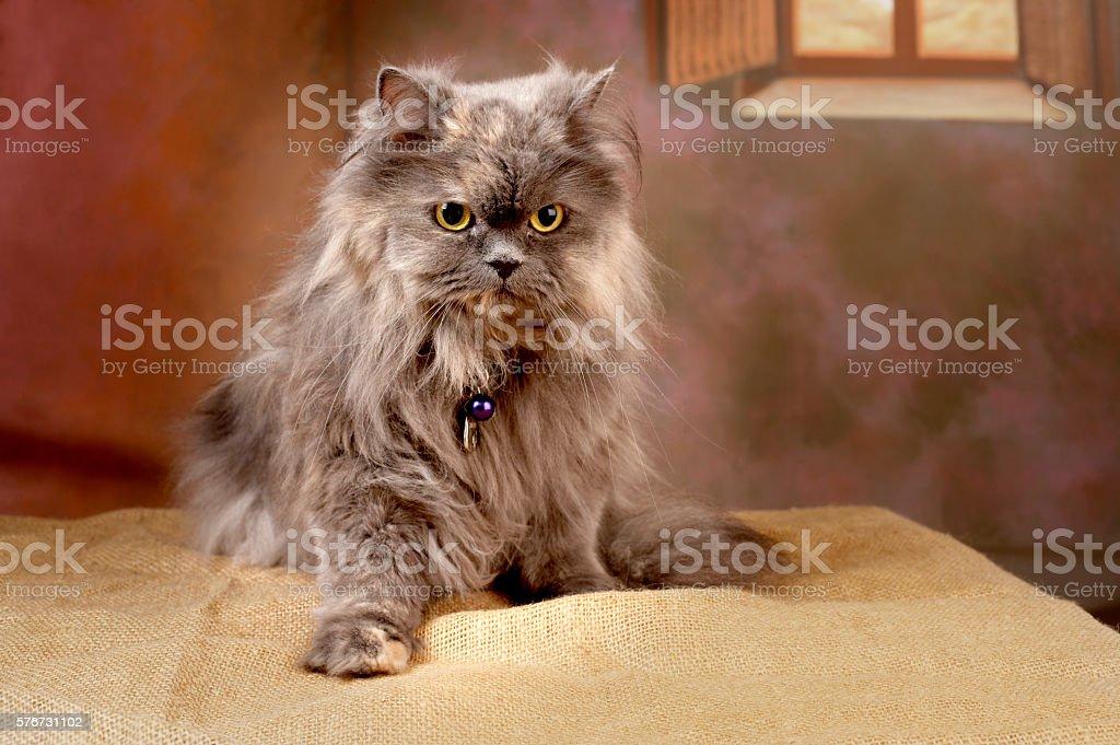 Cute brownish persian cat (pure bred) posing (studio shot) stock photo