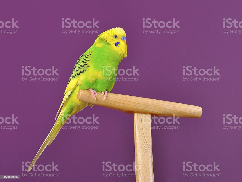 Cute budgerigar parrot perched on a stand royalty-free stock photo
